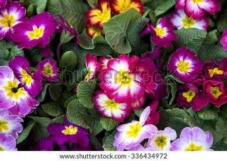 Primrose - Primula flowers  - stock photo