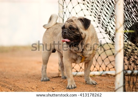 (Pug keeper.)Fawn pug dog sitting with net of goal. - stock photo