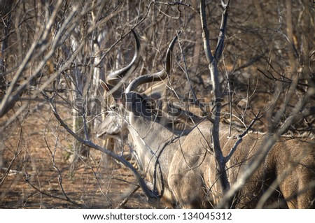 Puku antelope walking in Chobe National Park, Botswana, Africa - stock photo