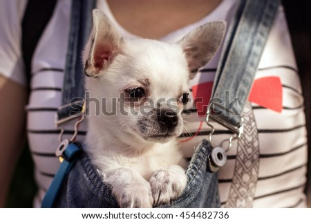 puppy chihuahua in the bosom of a girl looking