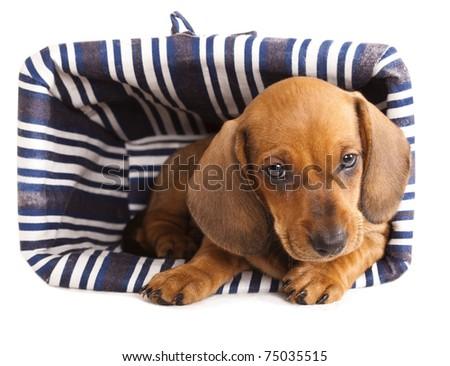 puppy purebred  dachshund - stock photo