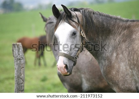 Purebred arabian horse posing on pasture. Close-up of a gray youngster in summer paddock - stock photo
