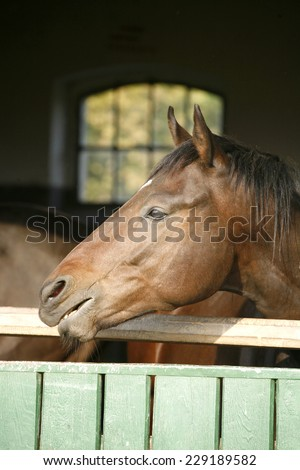 Purebred chestnut nervous horse smelling in the barn  - stock photo