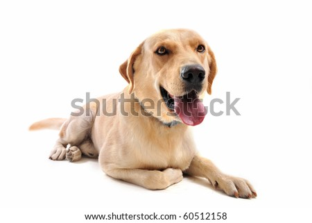 purebred  labrador retriever in front of a white background
