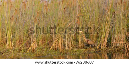 Purple Heron in papyrus in Okavango Delta in Botswana - stock photo