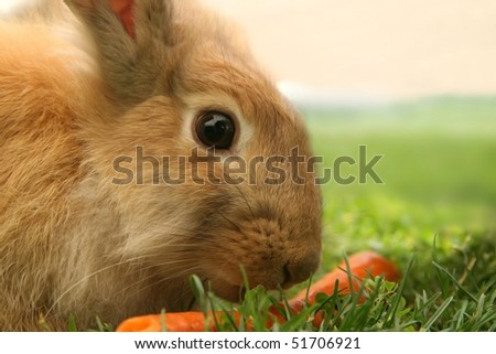 Rabbit looks attentively whilst eating a carrot. - stock photo