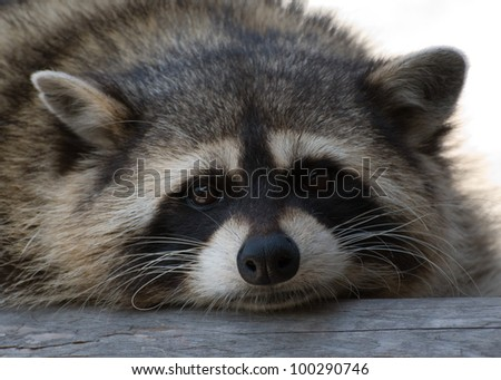 raccoon - stock photo