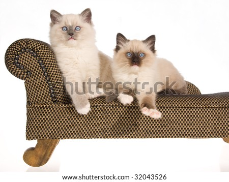 2 Ragdoll kittens sitting on miniature brown chaise sofa couch, on white background - stock photo