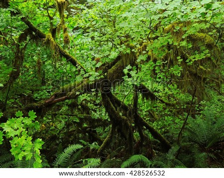 rain forest on marymere falls hike  near lake crescent in olympic national park, washington    - stock photo