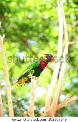 """Rainbow Lorikeet"" bird standing with tree background"