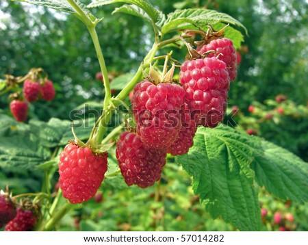 raspberry plantation - stock photo