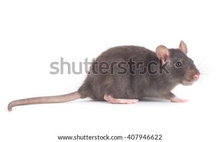 rat close-up isolated on white background - stock photo