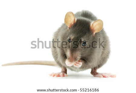 rat  isolated on white - stock photo