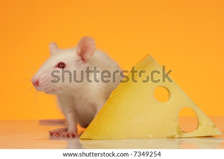 rat on a yellow background