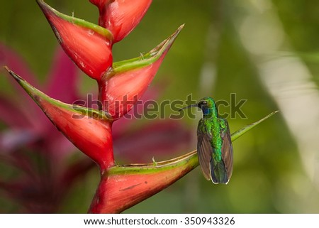 Rear view of very rare tobago's green hummingbird White-tailed Sabrewing Campylopterus ensipennis perced on red heliconia bihai flower. Colorful green and red blurry background. - stock photo