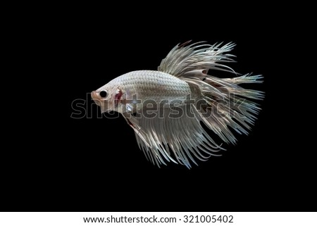 Red and whitebetta splendens (crowntail betta ) isolated on black background - stock photo