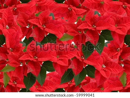 Red poinsettia,  floral christmas background - stock photo