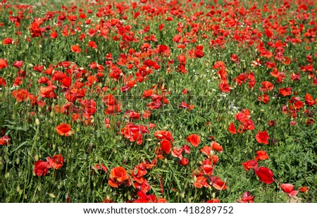 Red poppy flowers on the field