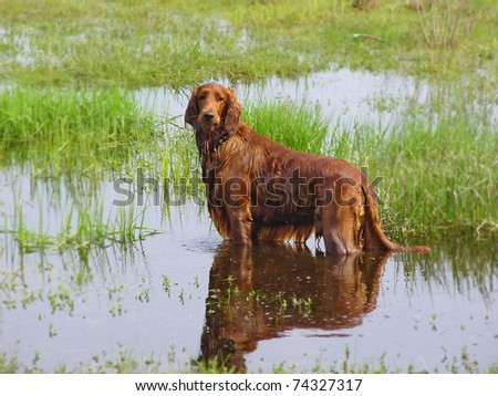 Red setter dog on frond of green grass and water. - stock photo