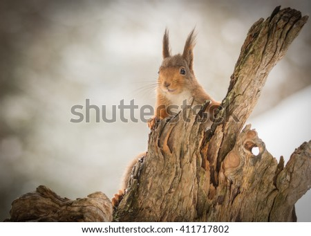 red squirrel behind a tree trunk  - stock photo