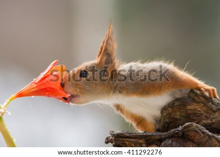 red squirrel holding a tree trunk eating a seed out of a flower with water drops - stock photo