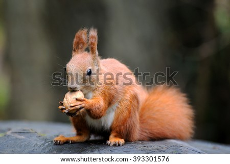 Red squirrel on a stump eating nuts - stock photo