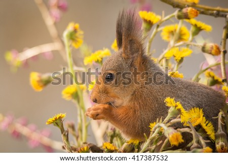 red squirrel profile standing on moss between yellow flowers - stock photo