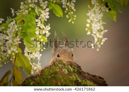 red squirrel standing behind tree trunk with moss - stock photo
