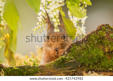 red squirrel standing behind tree trunk with moss looking in the lens - stock photo