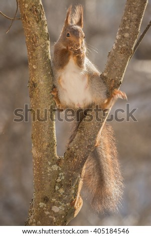 red squirrel standing between 2 tree branches  - stock photo
