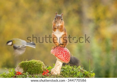 red squirrel standing on mushroom with titmouse flying in the back
