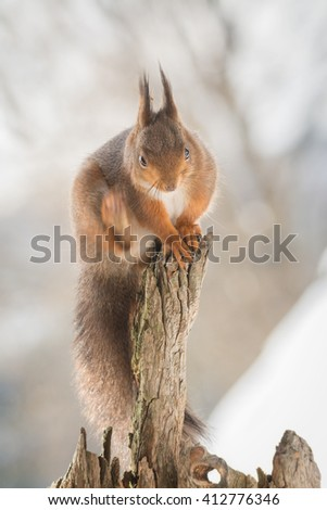 red squirrel standing on tree trunk looking down scratching with the blurry leg - stock photo