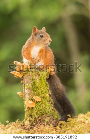 red squirrel standing on tree trunk with mushrooms