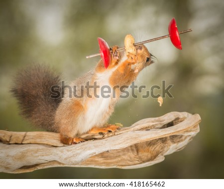 red squirrel standing on tree trunk with weight object - stock photo