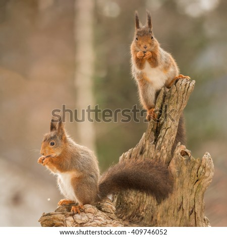 red squirrels standing on tree trunk  - stock photo