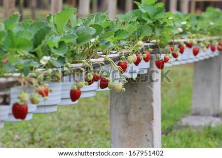 red strawberry in garden - stock photo