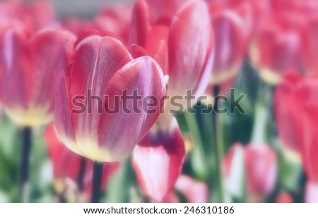 Red tulips in Boston Common in summer - stock photo