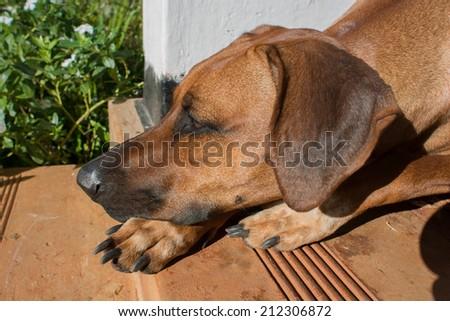 Rhodesian dog  - stock photo