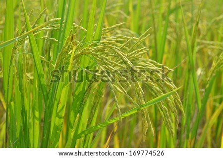 Rice Paddy Field ready to be cultivated - stock photo