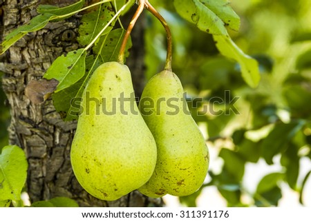 2 ripe pears side by side hanging from tree branch in orchard
