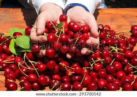 Ripe red Sweet Cherries in the woman hands in a sunny day on a fruit plantation. Harvesting. - stock photo