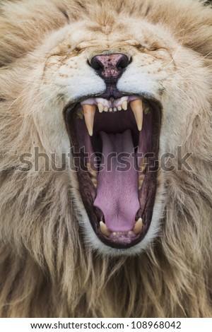 'Roaring White Lion' - stock photo