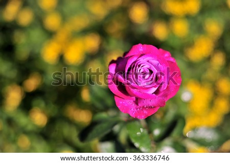Rose Blooming in Garden - stock photo