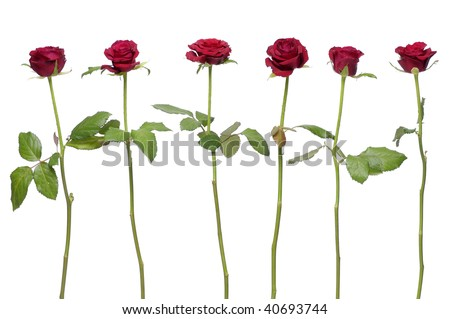 Row of six red rose on white