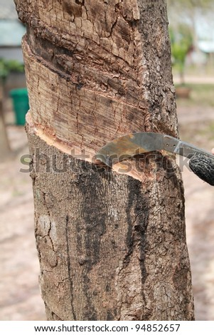 Rubber tree background, Thailand, Southeast Asia. - stock photo