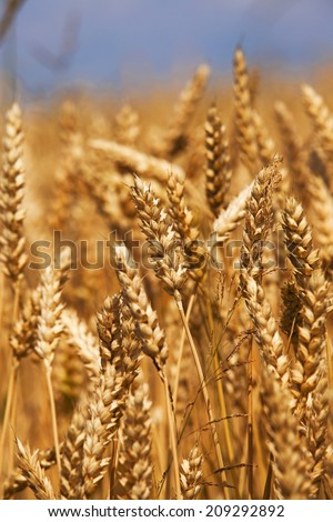 rye ears which have to ripen soon. small depth of sharpness - stock photo