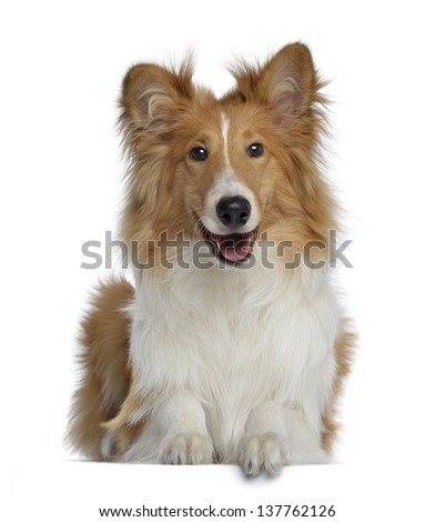 Scotch Collie, 7 months old, lying and facing, isolated on white