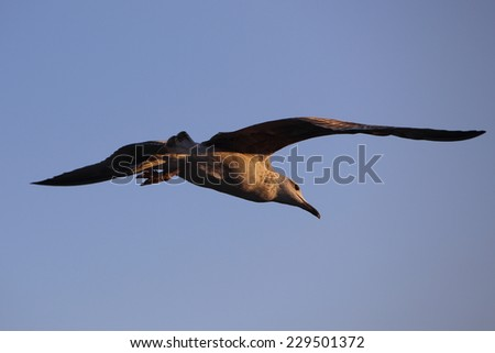 sea gull flying - stock photo
