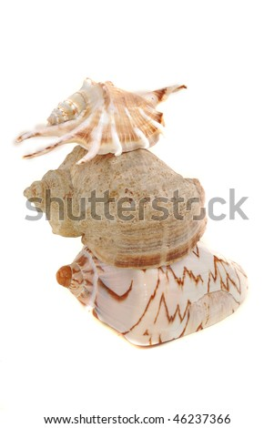 Sea shell with  reflection against white background