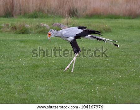 Secretary Bird feeding (Sagittarius serpentarius) - stock photo